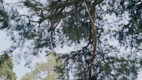 Красивые кроны деревьев на фоне сногсшибательного голубого неба Взгляд снизу вверх через деревья к небу видеоматериал