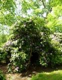 Красивые кусты цветка рододендрона в саде Стоковое фото RF