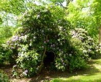Красивые кусты цветка рододендрона в саде Стоковое Изображение RF