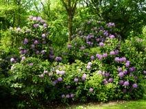 Красивые кусты цветка рододендрона в саде Стоковое Фото