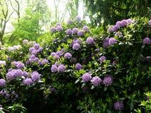 Красивые кусты цветка рододендрона в саде Стоковые Фото