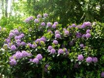 Красивые кусты цветка рододендрона в саде Стоковое Изображение