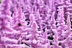 Красивые кусты Astilbe цветков с пушистые розовые panicles и пчела путать на цветке, славной предпосылке Стоковые Изображения RF
