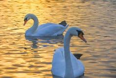 Красивые лебеди в восходе солнца утра Kinsington паркуют стоковое изображение