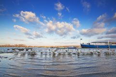 Красивые лебеди на Дунае в Zemun, Сербии Стоковая Фотография RF