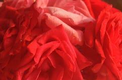 Красивые лепестки красной розы с падениями воды Стоковые Изображения