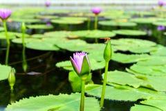 Красивые лилии воды в летнем дне стоковые фотографии rf