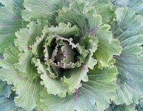 Красивые листья декоративного конца капусты вверх стоковая фотография rf