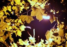 Красивые листья дерева на ноче осени Стоковые Фото