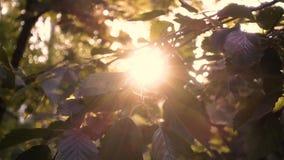 Красивые листья на заходе солнца сток-видео