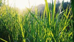 Красивые лист травы с солнцем излучают в утре фоновое изображение природы лист травы Стоковая Фотография RF