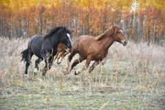 Красивые лошади скача на сухую траву на фоне леса осени стоковая фотография rf