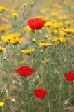 Красивые маки весной в Израиле Стоковые Фото