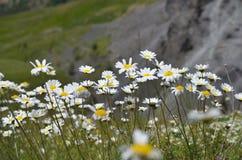 Красивые маргаритки растя в кавказских горах Стоковая Фотография RF