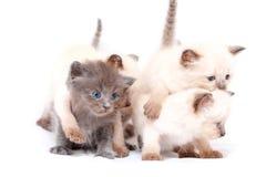 Красивые маленькие сиамские 4 котят одного на другой белой предпосылке белизна изолированная предпосылкой Стоковое Фото