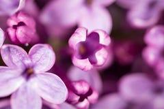 Красивые маленькие цветки сирени Макрос стоковые фото