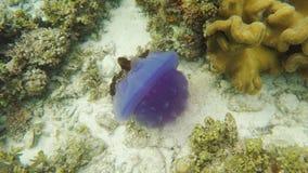 Красивые медузы в тропическом море видеоматериал