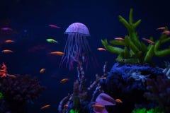 Красивые медузы закрывают вверх Стоковые Изображения RF