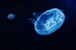 Красивые медузы луны Стоковые Изображения