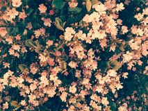 Красивые милые розовые цветки: время весны! Стоковые Изображения RF