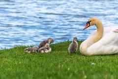Красивые молодые лебеди младенца с их матерью стоковые изображения rf