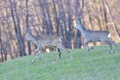 Красивые молодые олени в Cervidae леса Стоковая Фотография