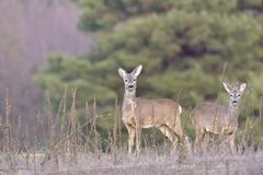 Красивые молодые олени в Cervidae леса Стоковая Фотография RF