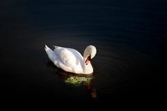 Красивые молодые лебеди в озере стоковое фото rf