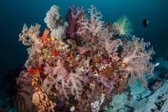 Красивые мягкие кораллы растут на глубоком рифе Стоковое Фото
