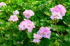 Красивые мягкие розовые гераниумы Стоковое Изображение RF
