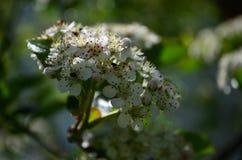 Красивые небольшие белые цветки черного chokeberry на ветви стоковое изображение
