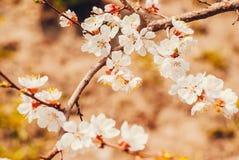 Красивые нежные цветки на ветви абрикосов Стоковое фото RF