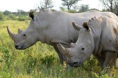 Красивые носороги, Ботсвана стоковая фотография