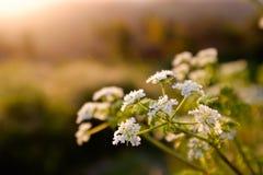 Красивые но хрупкие белые цветки цвести под теплым солнечным светом стоковое изображение rf