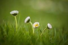 Красивые общие маргаритки растя в траве Цвести маргаритка в саде стоковое фото rf
