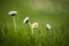 Красивые общие маргаритки растя в траве Цвести маргаритка в саде стоковое изображение rf