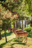 Красивые олени в лесе на зоре, Европа стоковая фотография rf
