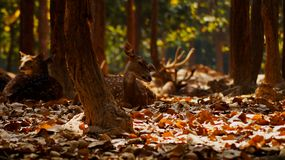 Красивые олени, фотография willdlife, олень в лесе стоковое изображение rf