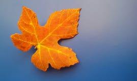 Красивые оранжевые лист падения над голубой предпосылкой Гармонические цвета осени стоковая фотография rf