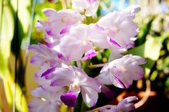 Красивые орхидеи coelestis Rhynchostylis в ферме Стоковая Фотография