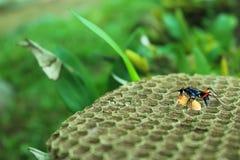 Красивые оса и личинка на гнезде стоковое фото