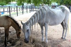 Красивые отрезки провода белой лошади ожеребятся стоковые изображения rf