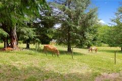 Красивые лошади есть на большом поле фермы стоковое фото