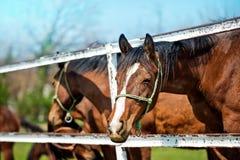 Красивые лошади каштана Брайна на скотном дворе Стоковое Изображение