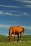 Красивые лошади на зеленом выгоне горы Стоковая Фотография