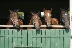 Красивые лошади племенника на двери амбара Стоковые Изображения