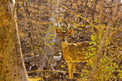 Красивые олени в плотном лесе Стоковое Изображение