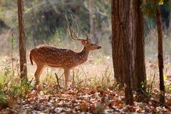 Красивые олени оси в среду обитания природы в Индии стоковое изображение rf