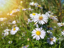 Красивые одичалые белые цветки стоцвета Стоковые Фото