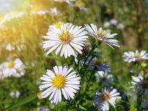 Красивые одичалые белые цветки стоцвета Стоковое фото RF